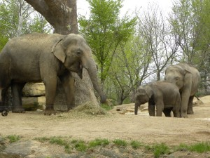 Elephant Family at the St. Louis Zoo