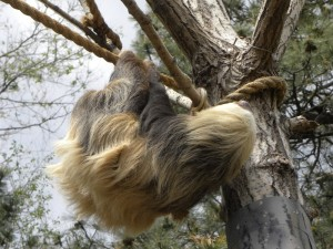 Cheyenne Mountain Zoo Sloth