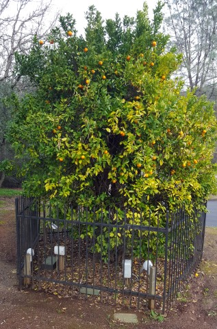 Mother Orange Tree, Oroville California