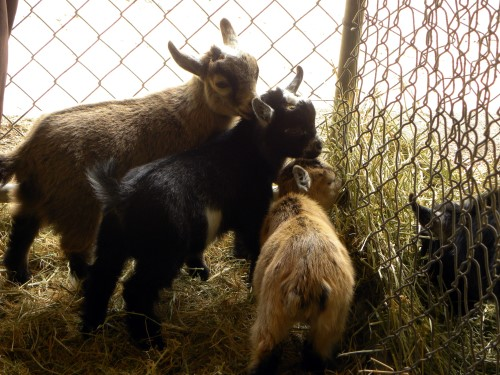 Sierra Pacific Pygmy Goat Show